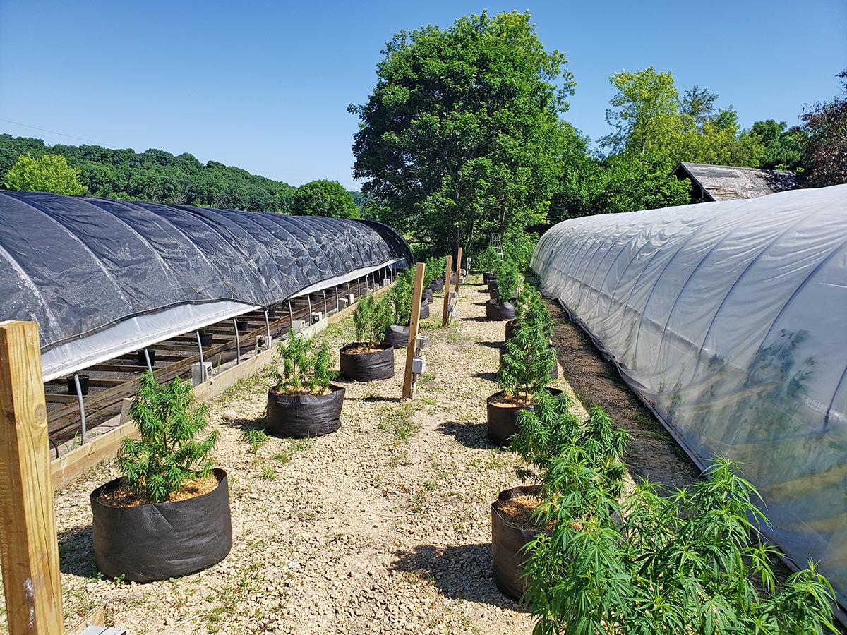 green county hemp plants